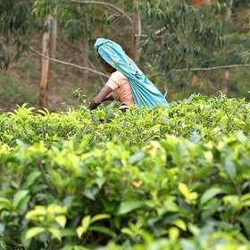 Teeproduktion und Teepflückerinnen in Sri Lanka